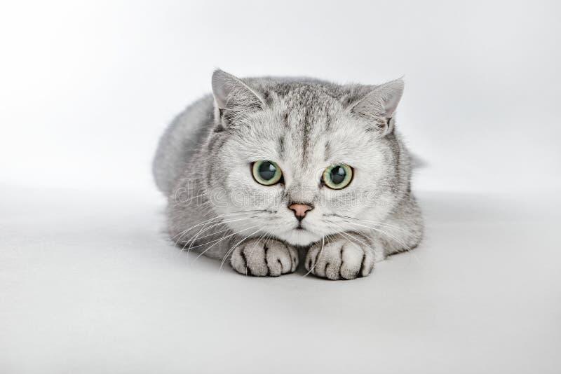 Gray British Shorthair. Portrait of British Shorthair cat lying on a gray background.  stock photo