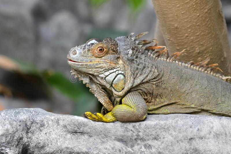 Gray and brown colored beautiful Iguana Leguan lizard with bright yellow legs royalty free stock images
