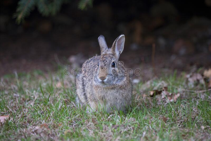 Gray and Brown Common Rabbit. A gray and brown common rabbit .  Rabbit`s eat grass and hide.  North America, Nebraska, midwest location of this rabbit stock images