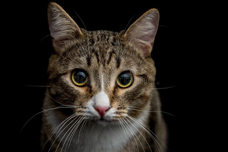 Gray and brown tabby cat. Studio shot of an adorable gray and brown tabby cat sitting on black background close up isolated stock photo