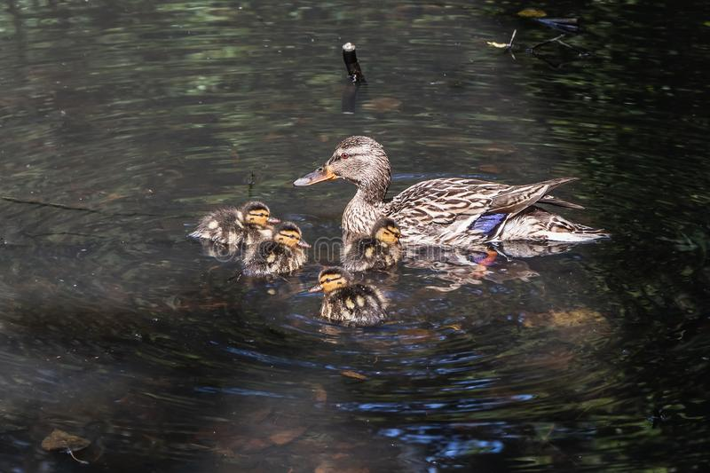 Gray and brown young adult female duck and a group of her orange and yellow fluffy ducklings swimming in the pond in the. Gray and brown young adult female duck royalty free stock photo