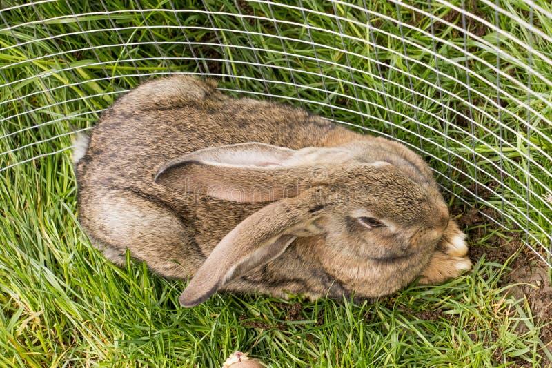 Gray Bunny royalty-vrije stock afbeelding