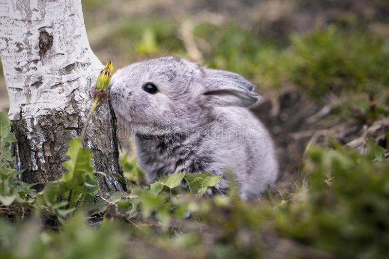 Gray bunny in the garden royalty free stock images