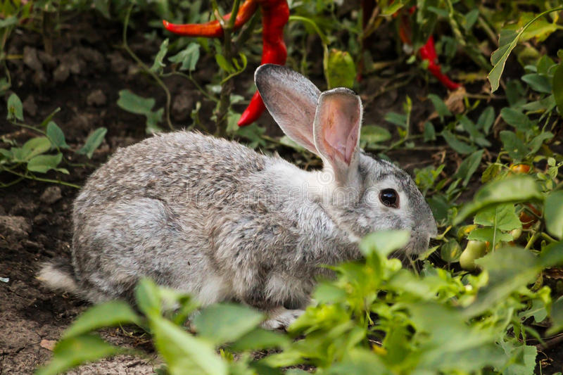 Gray bunny. Looking for food in the garden stock photos