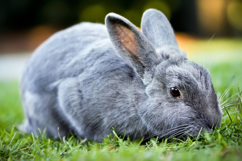 Gray Bunny Rabbit. Profile of a gray bunny rabbit in the park royalty free stock photos