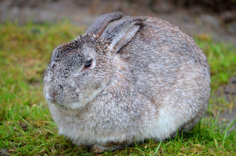 Gray Bunny Rabbit arkivbild
