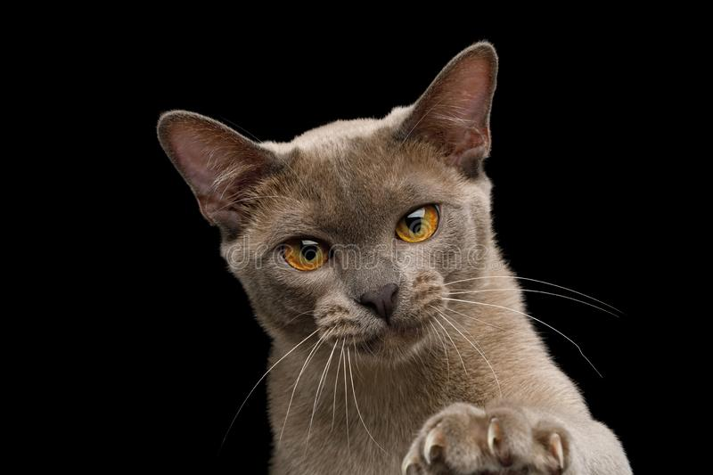 Gray burma cat isolated on black background. Portrait of Gray Burma Cat Raising paw with sharp claws isolated on black background, front view royalty free stock images