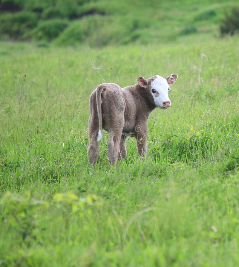 Gray Calf arkivbild