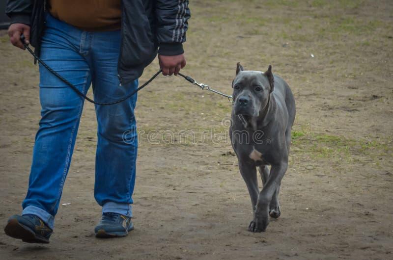 Gray Cane Corso avec une démarche élégante est à côté du manipulateur Son tour à exécuter à l'exposition canine photographie stock libre de droits
