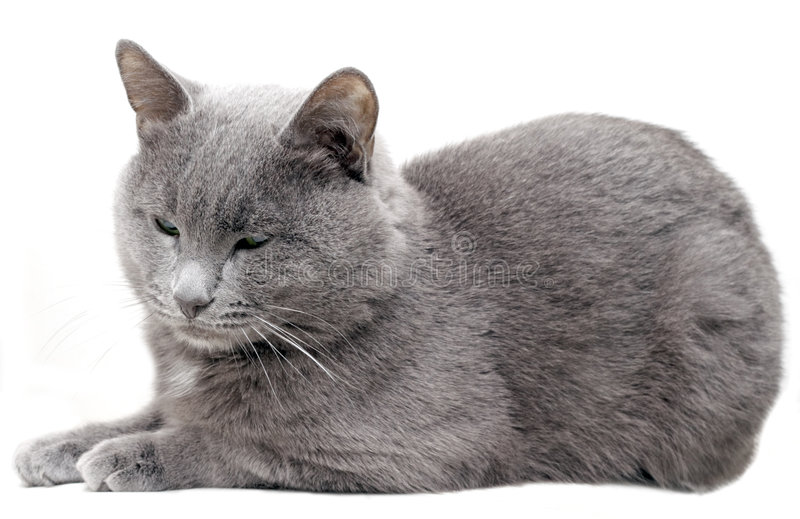 Gray Cat #2 royalty free stock images