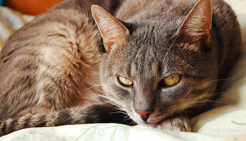 Download Gray cat stock photo. Image of kitty, fluffy, grey, pisica - 26971058