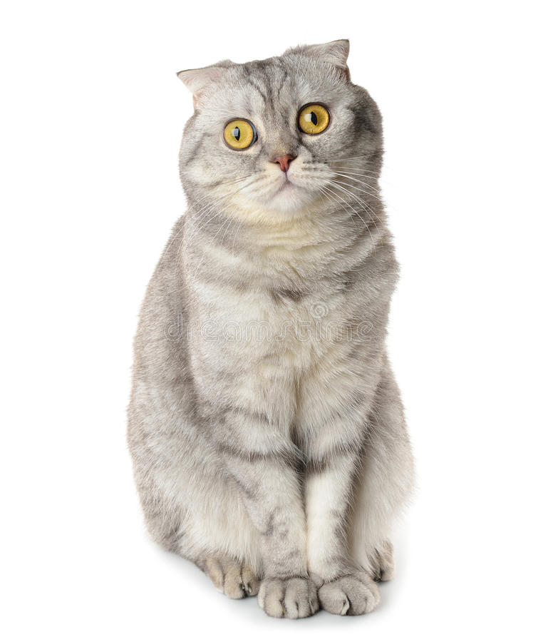 Download Gray cat stock photo. Image of character, animal, adult - 29098086