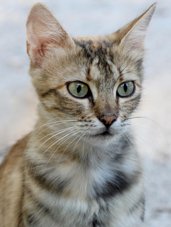 Gray Cat Royalty Free Stock Photos