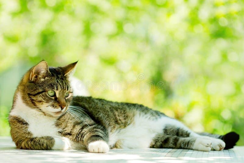 Download Gray Cat imagen de archivo. Imagen de doméstico, piel - 42445639