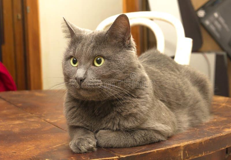 Download Gray Cat image stock. Image du dénommé, mignon, domestique - 56484343
