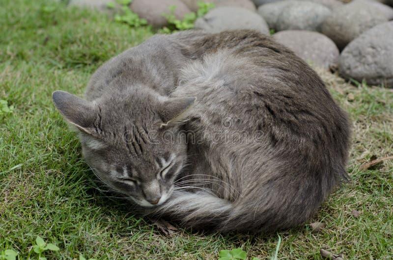 Gray Cat foto de archivo