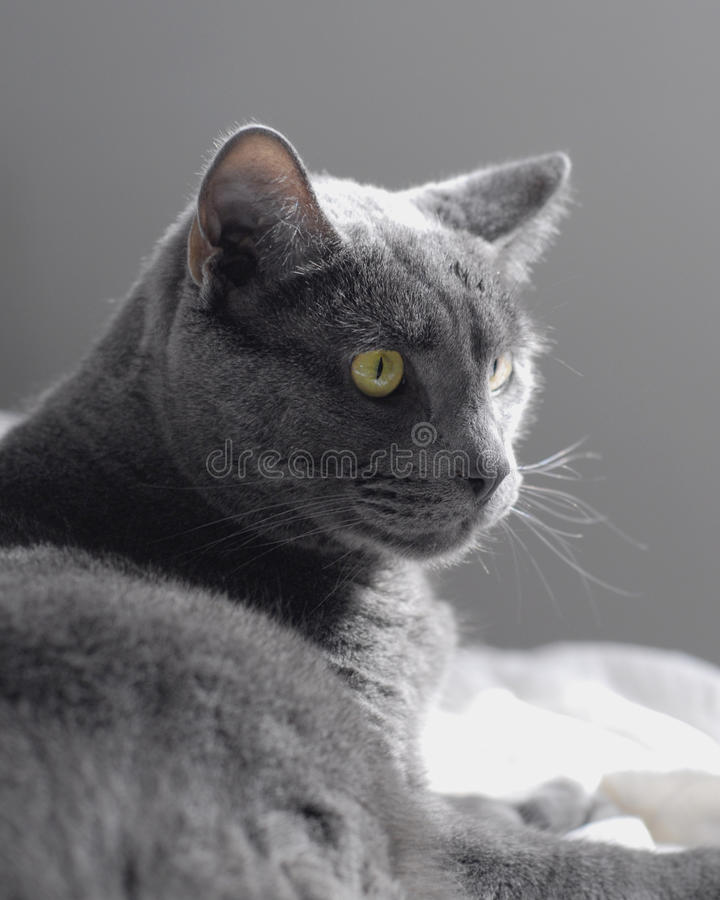 Gray Cat images stock