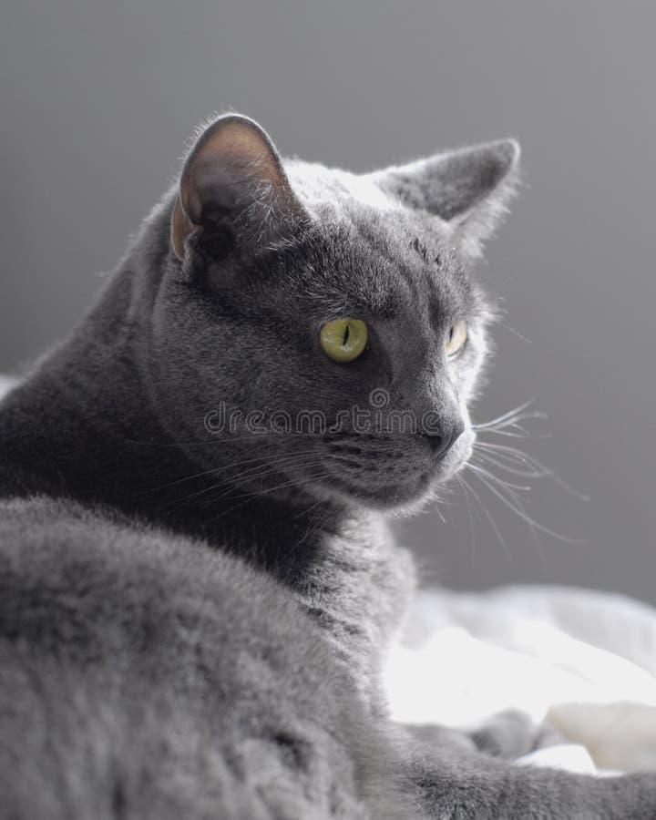 Gray Cat stock afbeeldingen