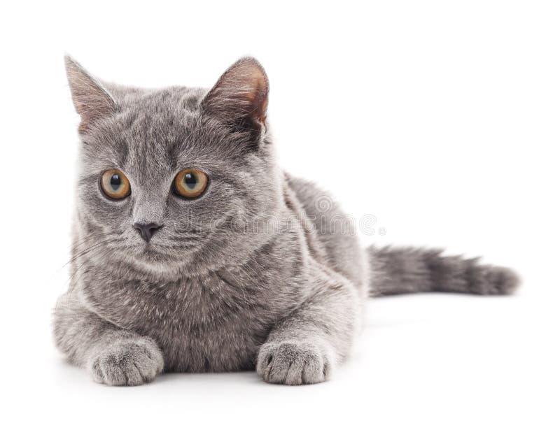 Download Gray Cat stockbild. Bild von whisker, nett, wirbeltier - 90235255