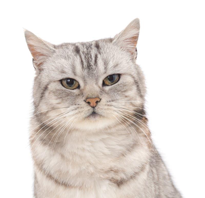 Download Gray Cat stockfoto. Bild von greifer, hintergrund, portrait - 90236052
