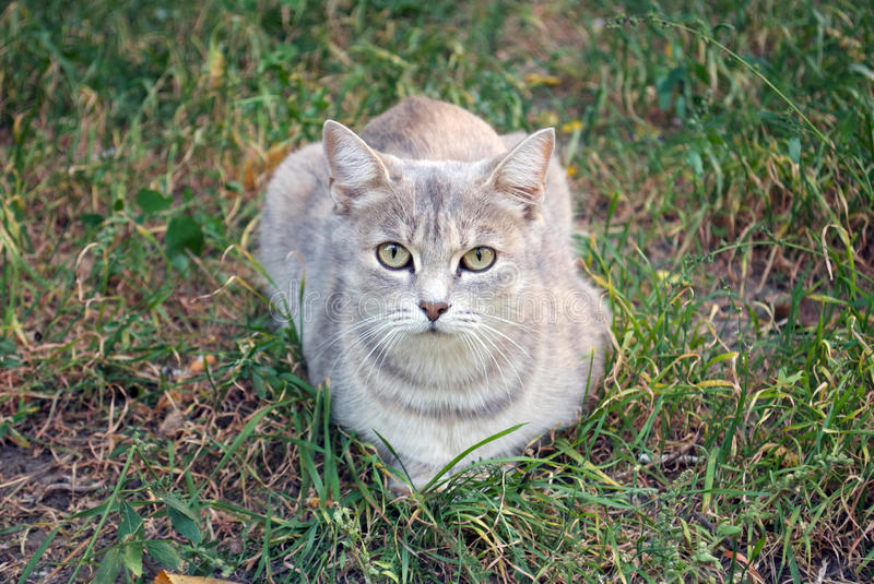Download Gray Cat On The Autumn Grass Stock Image - Image: 26809359