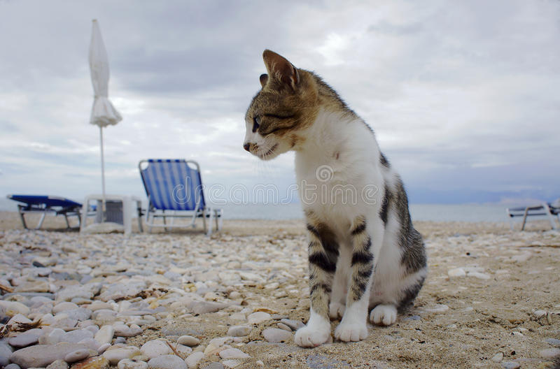 Gray cat on the beach royalty free stock photo