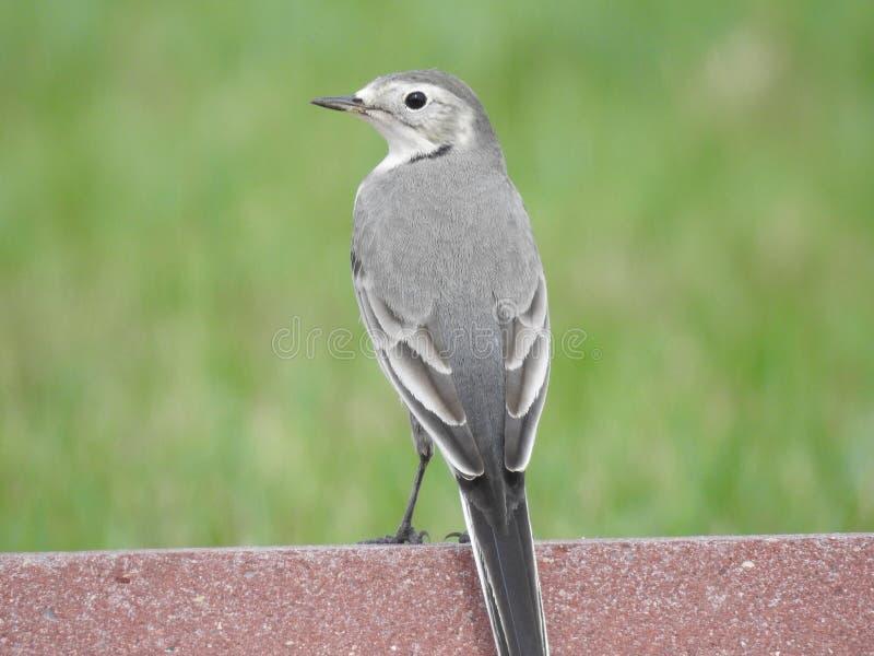 Gray Cat Bird immagine stock libera da diritti