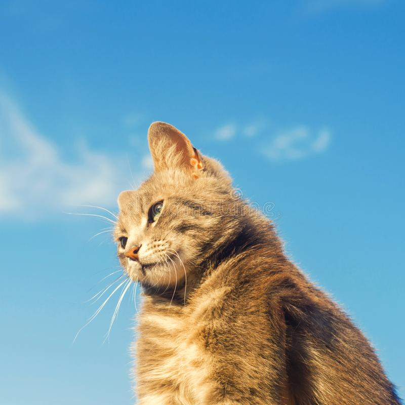 Gray cat on a blue background in sunlight. cat in the sky. a pet. beautiful kitten. place for text. copyspace stock photography