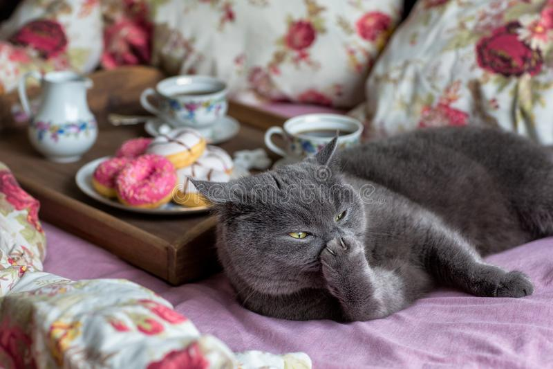 Gray cat and breakfast with coffee in bed royalty free stock photography