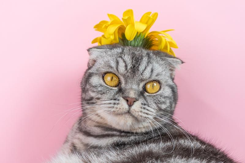 Gray cat breed Scottish Fold close-up with a yellow flower royalty free stock images