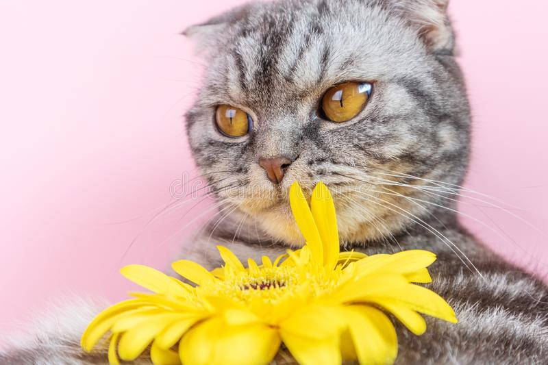 Gray cat breed Scottish Fold close-up with a yellow flower stock image