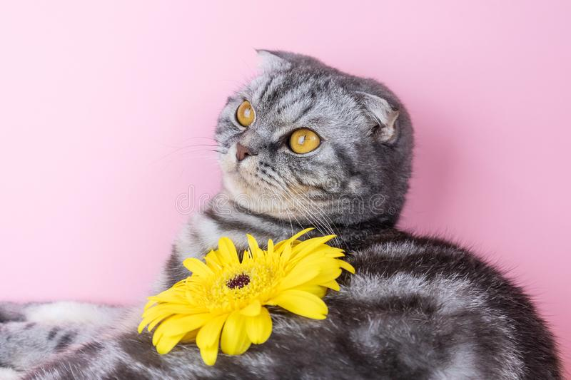 Gray cat breed Scottish Fold close-up with a yellow flower stock photo