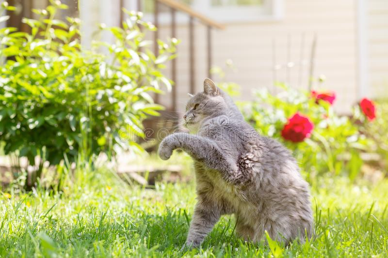 A gray cat catches butterflies in a summer garden, against the background of green grass and a country house. Sunlight, blurred background, selective focus stock photo
