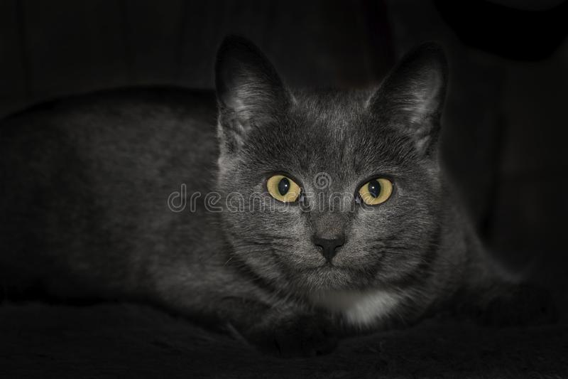 Gray cat close-up, yellow open eyes. Beautiful black. royalty free stock photo