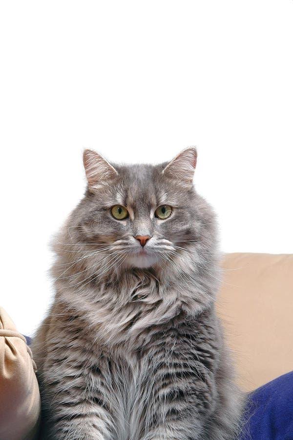 Gray cat on cushions royalty free stock photos