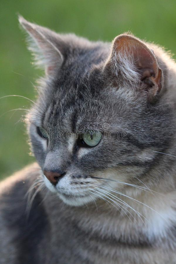 Gray cat and emerald eyes close-up. With a green grass background royalty free stock image