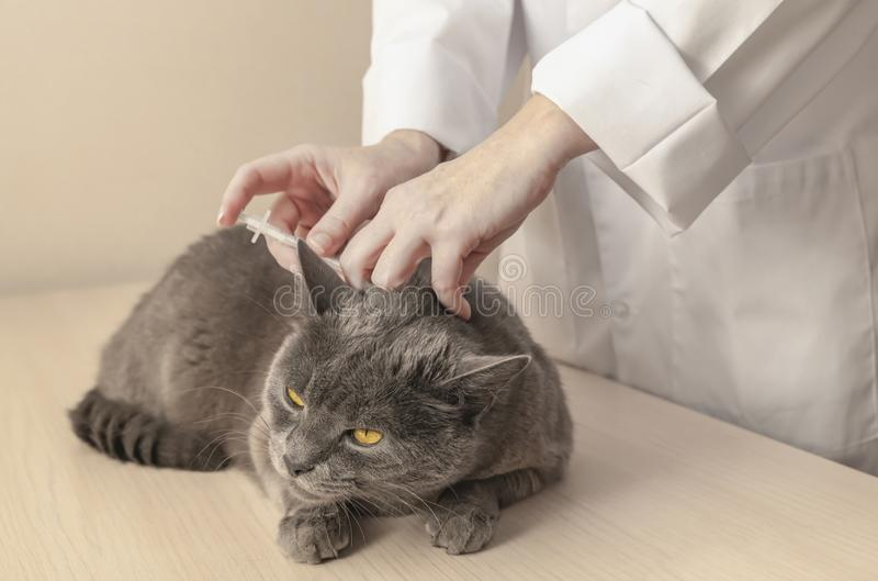 Gray cat is getting a vaccine at the veterinary clinic. Professional veterinarian is making injection to patient cat. stock images