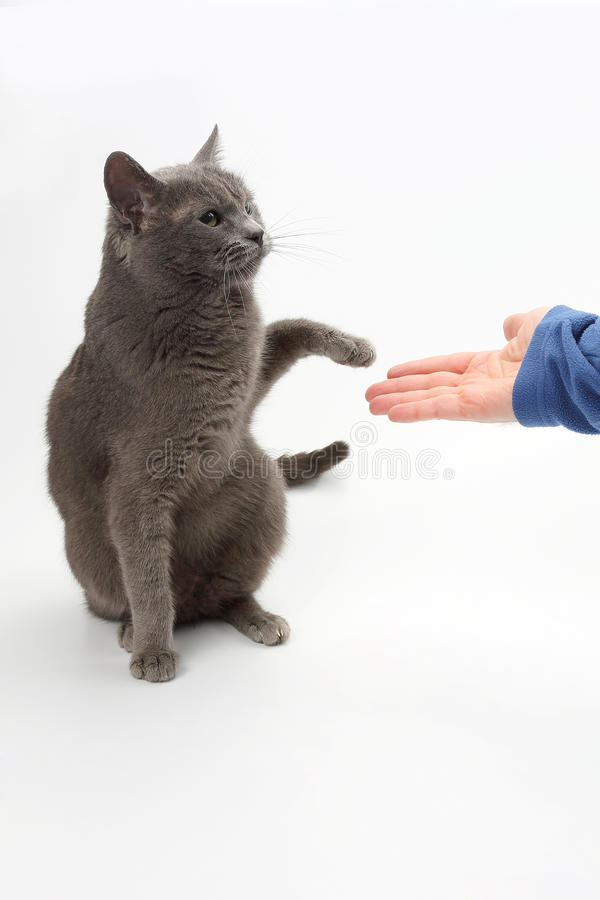 Gray cat gives a paw in the palm of the person royalty free stock images