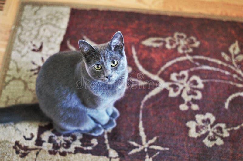 Gray Cat grazioso immagini stock