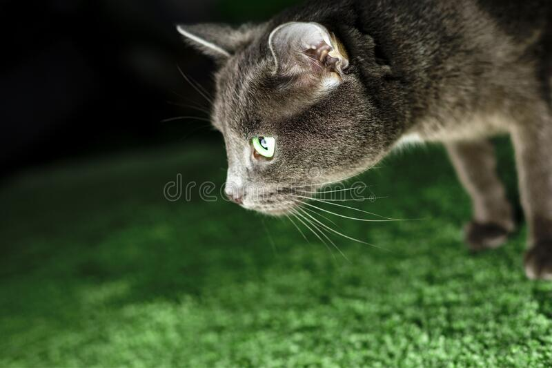 A gray cat with green eyes. Here you can see a gray cat with green eyes looks at the light stock photography