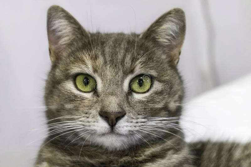Gray cat with green eyes royalty free stock images