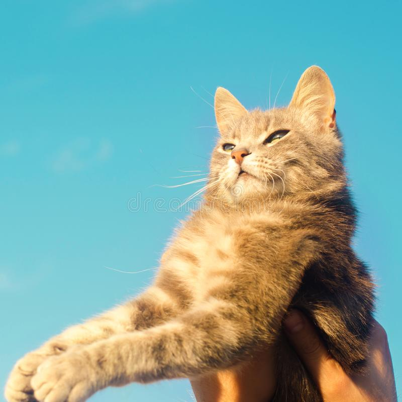 Gray cat on hands on a blue background in sunlight. cat in the sky. a pet. beautiful kitten royalty free stock image