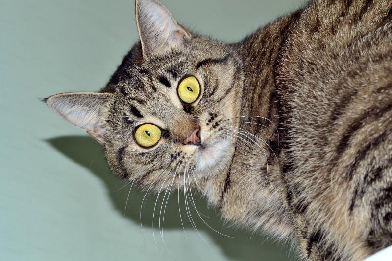 Gray Cat-het kijken royalty-vrije stock afbeeldingen
