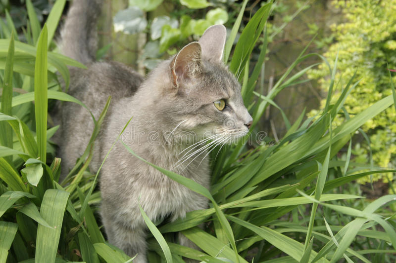Gray cat hunting. Alert gray cat watching his prey as it hunts in the long grass royalty free stock photos