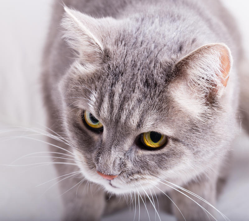 Gray cat with the inclined head and a look from below up. Frontal foreshortening, horizontal shot, close up royalty free stock image