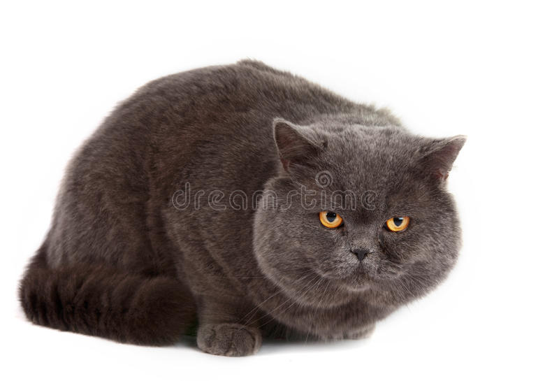 Gray cat isolated. On a white background royalty free stock photography