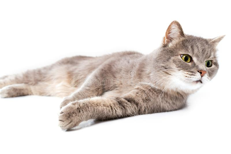 The gray cat lies on one side, a white background royalty free stock photography