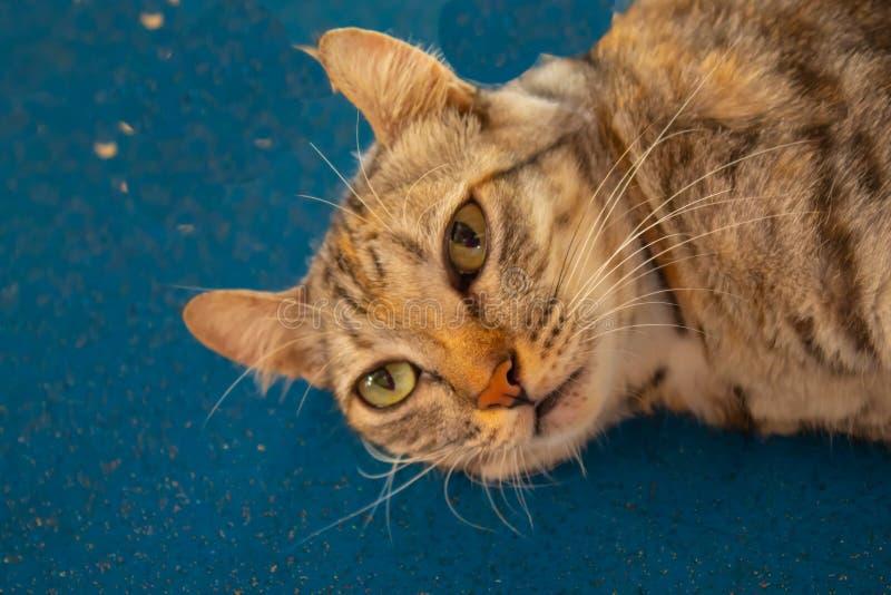 Gray cat lying on the wooden floor. Gray cat lying on the wooden floor , Thailand royalty free stock photo