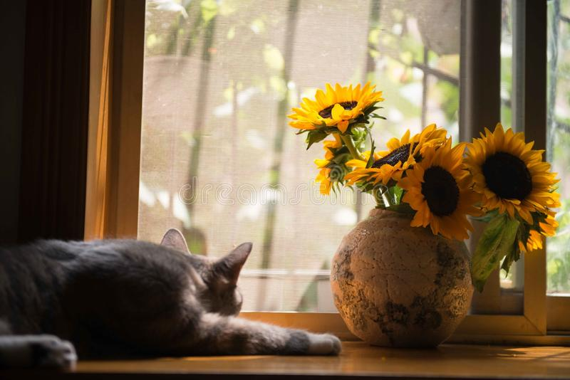 Gray Cat Near Gray Vase With Sunflower royalty free stock image