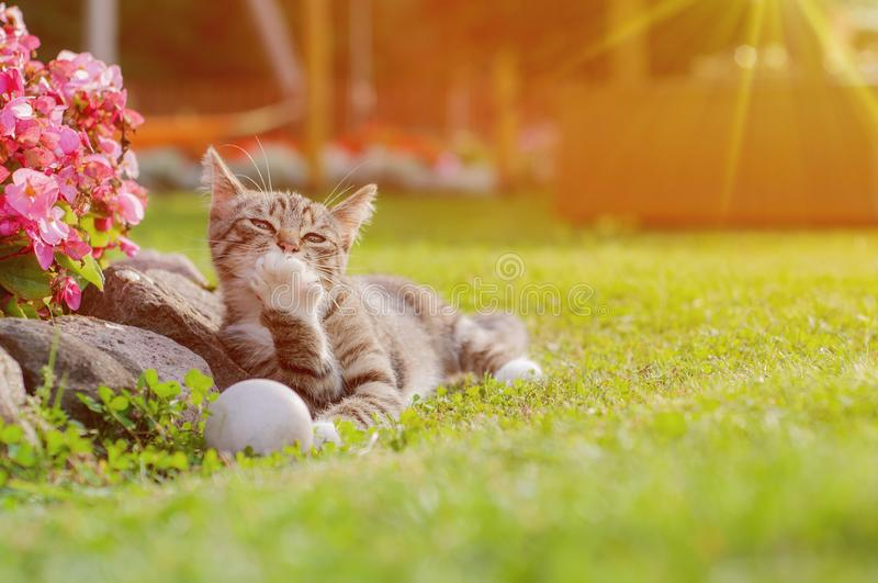 Gray Cat Playing With White Ball On Grass. Small Kitten Playing With Ball In The Garden. Grey cat licks paw royalty free stock images